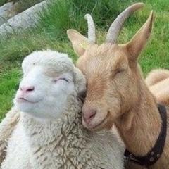 sheepNgoats